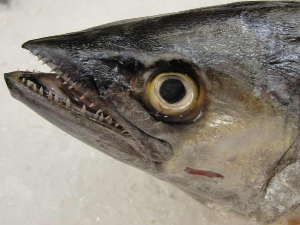 Toothy fish head